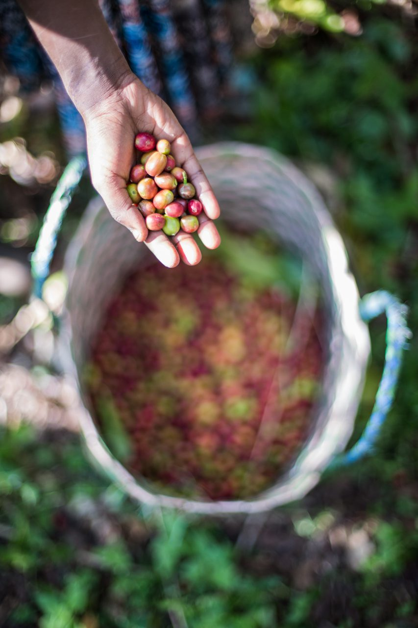 Amelework, 9, putting the coffee she has picked into a basket on her grandmother's farm in Mankusa, West Gojjam, Ethiopia. ©WaterAid/GenayeEshetu