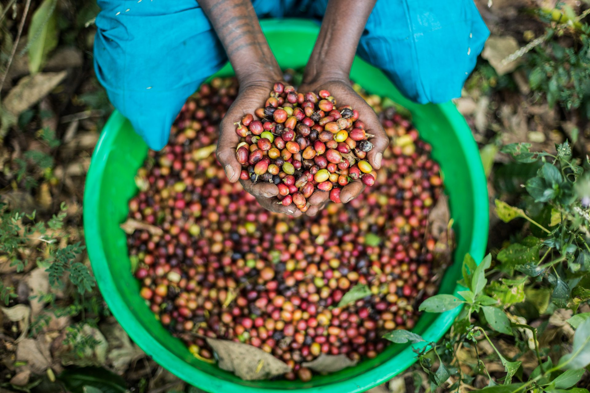 Medihanit Semure, showing the coffee beans she picked at her farm in Woynima, West Gojam, Ethiopia. ©WaterAid/Genaye Eshetu